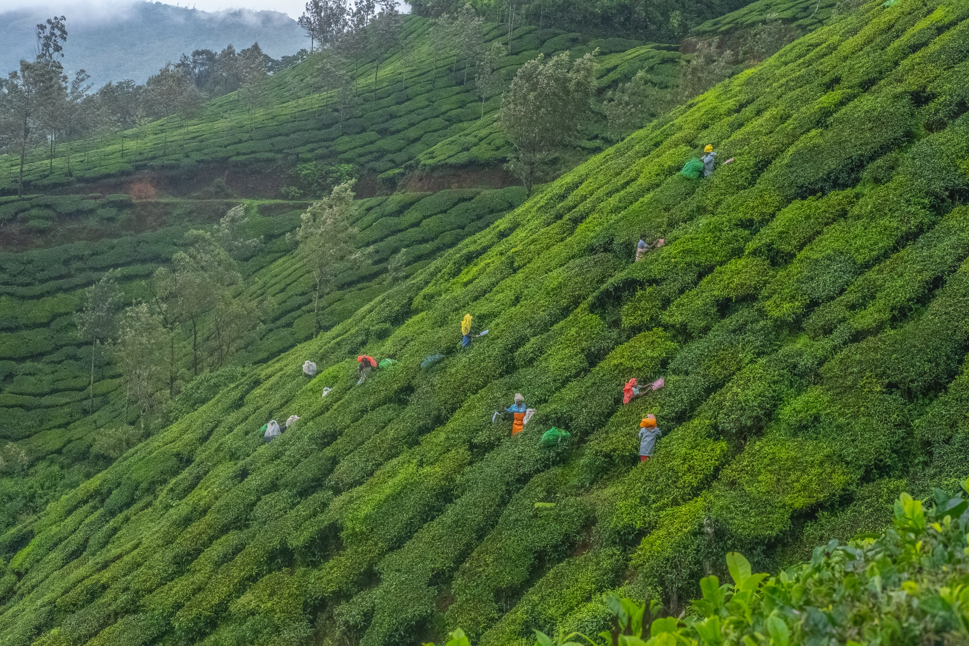 How ethical is your cup of tea? Tea pickers in Munnar, India